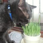 室内猫への猫草の与え方