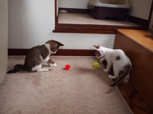 ボールで遊ぶ猫たち