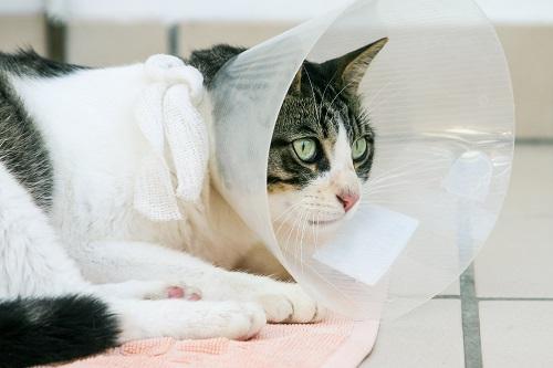 不妊治療をする猫