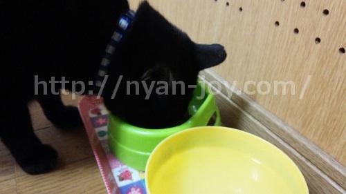 カナガンキャットフードが好きな猫