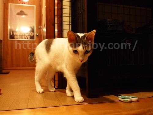 シンプリーを食べ終わった猫