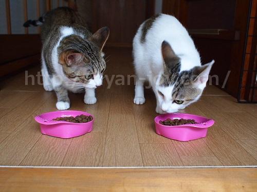 シンプリーを食べる猫