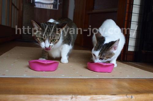 シンプリーをモリモリ食べる猫