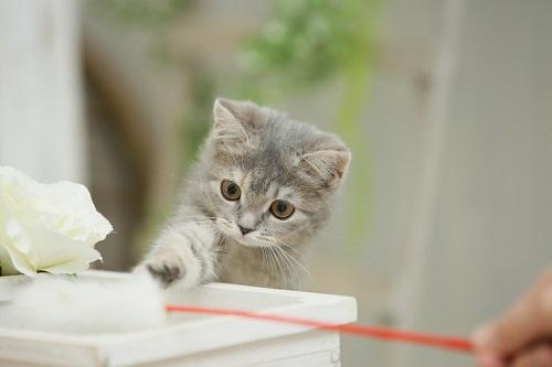 猫じゃラしで遊ぶ猫