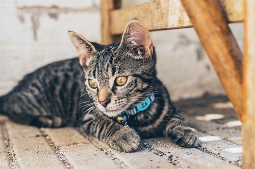 首輪をする座った猫