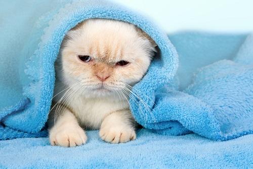 水色のタオルに覆われる猫