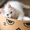 白い猫とダンボール