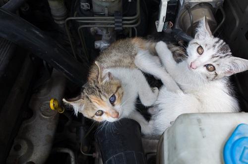 ボンネットに入る猫