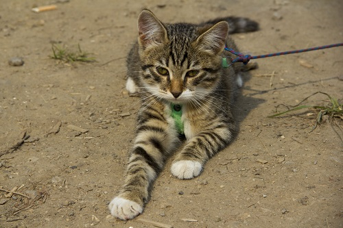 ハーネスを付ける猫