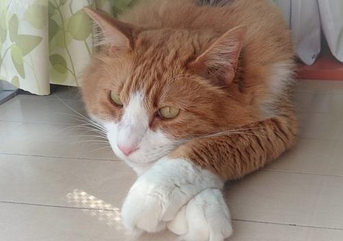 手を交差する猫