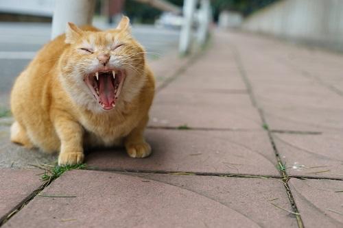 口を開けて吠える猫