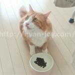ジャガーキャットフードを食べる猫