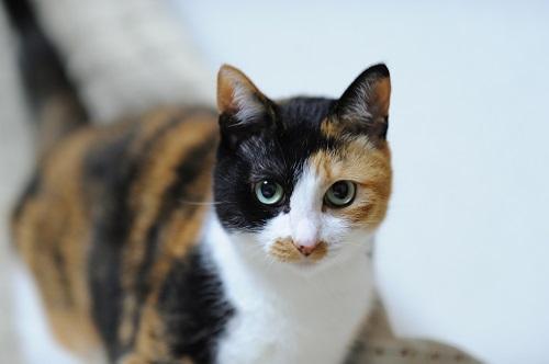 こちらを見る三毛猫