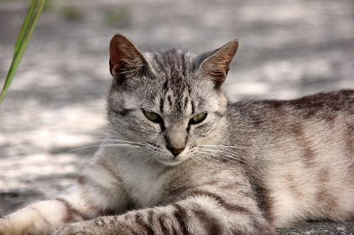 サバトラの猫