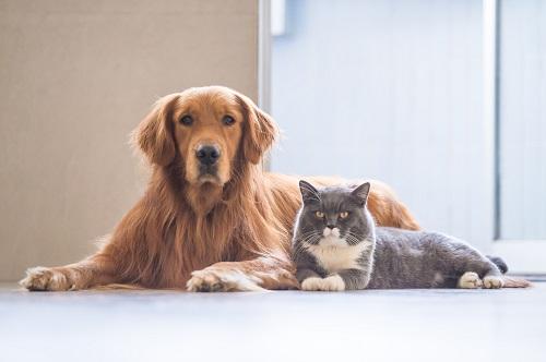 ゴールデンレトリバーと猫
