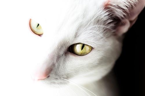 白い猫の目
