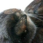 猫の耳の後ろがハゲてる