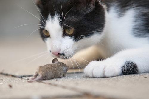 ネズミを捕まえる猫