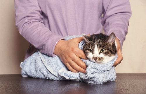 ネコをタオルで吹く