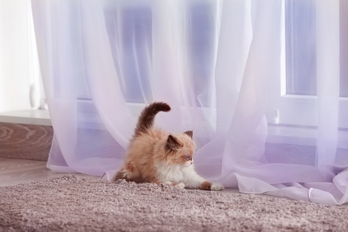 カーテン前のネコ