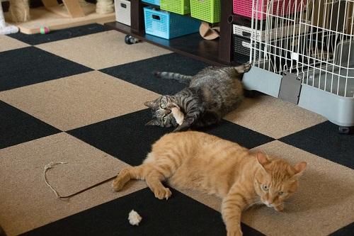 2匹で寝転ぶ猫