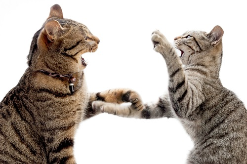 2匹のケンカする猫