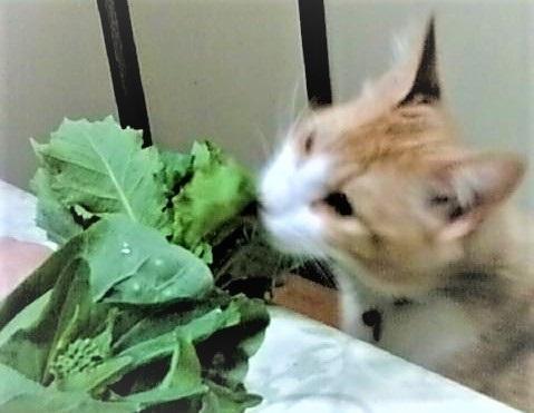 野菜を食べる猫