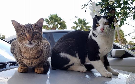 車のボンネットの上にかわいく座る猫