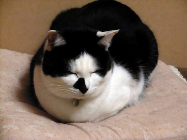 まるまる猫