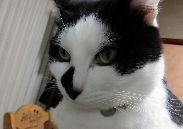 白と黒の模様の猫