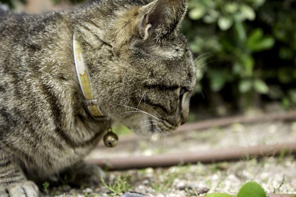 首輪をする猫